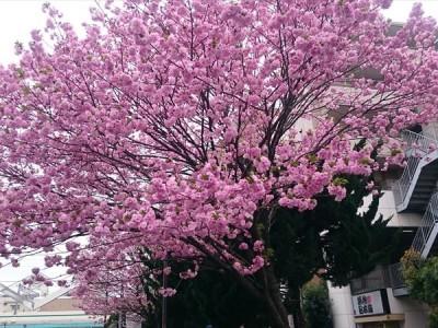 東綾瀬公園の桜